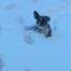 French Bulldog in the snow